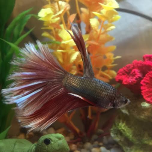 Alphie, the Betta Attack Monster Fish